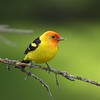 Guide Jesse Fagan's portrait of a male Western Tanager opens our gallery of gorgeous Tanagers, whose dazzling colors rekindle that childhood excitement on first seeing the really big box of crayons. Tanagers, restricted to the New World, reach their greatest diversity in the Andes, where a single mixed flock might hold nearly 20 species, showcasing as many colors as that box of crayons. Western Tanager is the northernmost tanager, nesting into Alaska, but we search for it mostly on our tours in Mexico, California, and Arizona.
