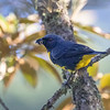 "A species classified as Near Threatened, Blue-and-gold Tanager is restricted to forests of western Panama and Costa Rica, where Cory Gregory took this photo on his <a href=""https://fieldguides.com/bird-tours/costa-rica-rancho/"" target=""_blank""><span class=""slideshow_tourlink3"">HOLIDAY COSTA RICA</span></a> tour. It is the northernmost tanager in the genus <i>Bangsia</i>, all of which are rather heavyset in appearance and sport marvelous colors. The genus name honors Outram Bangs, a curator of birds at Harvard's Museum of Comparative Zoology."