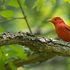 "The <a href=""https://fieldguides.com/bird-tours/cape-may-spring/"" target=""_blank""><span class=""slideshow_tourlink3"">SPRING IN CAPE MAY</span></a> tour is a great one to take in the beauty of singing Summer Tanagers, here at Belleplain State Park in a photo by guide Doug Gochfeld. Like Hepatic Tanager of the West, Summer Tanagers migrate southward in autumn, wintering in Mexico and Central and South America, where we see them on dozens of tours, albeit not in song."