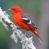 "A rarity in <a href=""https://fieldguides.com/bird-tours/arizona-2/"" target=""_blank""><span class=""slideshow_tourlink3"">ARIZONA</span></a> but relatively common in the highland pine forests of Mexico and Central America, the aptly named Flame-colored Tanager is just spectacular. This photo by participant Greg Griffith on our <a href=""https://fieldguides.com/bird-tours/costa-rica-edges/"" target=""_blank""><span class=""slideshow_tourlink3"">COSTA RICA: BIRDING THE EDGES</span></a> tour shows a similar ""toothed"" bill as well as the exquisite pattern of the upperparts, hard to see on a canopy species. We also see this one on our <a href=""https://fieldguides.com/bird-tours/guatemala/"" target=""_blank""><span class=""slideshow_tourlink3"">GUATEMALA</span></a>, <a href=""https://fieldguides.com/bird-tours/costa-rica/"" target=""_blank""><span class=""slideshow_tourlink3"">CLASSIC COSTA RICA</span></a>, and <a href=""https://fieldguides.com/bird-tours/costa-rica-rancho/"" target=""_blank""><span class=""slideshow_tourlink3"">HOLIDAY COSTA RICA</span></a> tours."