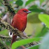"The widespread Hepatic Tanager nests from Colorado to Argentina! We see it on our <a href=""https://fieldguides.com/bird-tours/arizona-2/"" target=""_blank""><span class=""slideshow_tourlink3"">ARIZONA</span></a> tours and on many tours farther south. From the <a href=""https://fieldguides.com/bird-tours/panama-canopy-lodge/"" target=""_blank""><span class=""slideshow_tourlink3"">PANAMA'S CANOPY LODGE</span></a> tour, participant Max Rodel's photo here shows the strong cusp (""tooth"") on the bill. Many ornithologists believe there are three full species within the Hepatic Tanager group: Hepatic Tanager nesting in highland pine-oak forests from the U.S. to Nicaragua; Red Tanager of lowland forests of eastern South America; and Tooth-billed Tanager, here, which inhabits highland forests from Costa Rica to western South America."