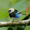 "Found from southern Mexico to northwestern Ecuador, the common-but-gorgeous Golden-hooded Tanager is often one of first ""true"" tanagers that U.S. and Canadian birders see on the first trip to the tropics. Once placed in the genus <i>Tangara</i>, which now contains 27 species (far more than any other genus in family Thraupidae), it is now among 14 species in the ""new"" genus <i>Stilpnia</i>. David and Judy Smith got this one on the <a href=""https://fieldguides.com/bird-tours/costa-rica-edges/"" target=""_blank""><span class=""slideshow_tourlink3"">COSTA RICA: BIRDING THE EDGES</span></a> tour!"