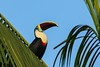 "The related White-throated Toucan (here at Mari-Mari on our <a href=""https://fieldguides.com/bird-tours/brazil-amazon/"" target=""_blank""><span class=""slideshow_tourlink3"">RIO NEGRO PARADISE: MANAUS, BRAZIL</span></a> tour) is widespread in Amazonia and Guianan Shield lowlands. This species is a ""yelper,"" like Yellow-throated, and pairs often call in duet, rapidly raising the bill and tail with each yelp. Their voices enliven the dawn chorus with your morning coffee on many tours, and it is a joy to see calling birds waving their bills exaggeratedly as they call. Photo by participant Roger Holmberg."