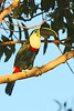 "Some Channel-billed subspecies lack the brilliant orange throat and breast, such as this one, subspecies <i>culminatus</i>, the Yellow-ridged Toucan, found from Venezuela to western Brazil, here on our <a href=""https://fieldguides.com/bird-tours/brazil-cristalino-pantanal/"" target=""_blank""><span class=""slideshow_tourlink3"">RAINFOREST &amp; SAVANNA: ALTA FLORESTA &amp; THE NORTHERN PANTANAL</span></a> tour. On our <a href=""https://fieldguides.com/bird-tours/brazil-southeast/"" target=""_blank""><span class=""slideshow_tourlink3"">SPECTACULAR SOUTHEAST BRAZIL</span></a> tour, we see the subspecies <i>ariel</i> (two photos back), while many of our Colombia tours see the Citron-throated (<i>citreolaemus</i>) subspecies. Photo by participant Bill Fraser."