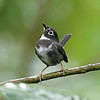 """On islands of the Caribbean, too, resident warbler species are relatively few. The distinctive Whistling Warbler is endemic to the island nation of St. Vincent, where it inhabits montane forests. We look for this endangered species on our every-other-year <a href=""""https://fieldguides.com/bird-tours/lesser-antilles/"""" target=""""_blank""""><span class=""""slideshow_tourlink3"""">LESSER ANTILLES</span></a>  tour. Photo by participant Greg Griffith."""