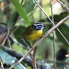 """Found solely in the Santa Marta Mountains of northeastern Colombia, the ornate Santa Marta Warbler is one of dozens of endemics sought after on our short <a href=""""https://fieldguides.com/bird-tours/colombia-santa-marta/"""" target=""""_blank""""><span class=""""slideshow_tourlink3"""">SANTA MARTA ESCAPE</span></a> tour and the longer <a href=""""https://fieldguides.com/bird-tours/colombia-north/"""" target=""""_blank""""><span class=""""slideshow_tourlink3"""">BOGOTA, MAGDALENA VALLEY &amp; SANTA MARTA</span></a> tour. Another bird of thick vegetation, Santa Marta Warbler often pops out to investigate visitors. Photo by participant Ron Majors."""