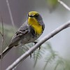 """Also on Jesse's <a href=""""https://fieldguides.com/bird-tours/bahamas"""" target=""""_blank""""><span class=""""slideshow_tourlink3"""">BAHAMAS</span></a>  tour, Olive-capped Warbler inhabits open pine woodlands (and similar habitats in Cuba). Its closest relative may in fact be Pine Warbler. Another relative, Kirtland's Warbler, is also to be expected on the Bahamas tour. Photo by guide Jesse Fagan."""