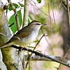 """And surprisingly, perhaps, one of the most sought-after warblers on our <a href=""""https://fieldguides.com/bird-tours/texas-coast/"""" target=""""_blank""""><span class=""""slideshow_tourlink3"""">TEXAS COAST MIGRATION SPECTACLE</span></a> tour with John Coons is the rather dully plumaged Swainson's Warbler, a specialized species that nests north to Virginia, chiefly in low, swampy woodlands. Like Worm-eating, it winters in Jamaica, so keep an ear out for its loud call note if you're on the <a href=""""https://fieldguides.com/bird-tours/jamaica/"""" target=""""_blank""""><span class=""""slideshow_tourlink3"""">JAMAICA</span></a> tour! Photo by participant Holger Teichmann."""