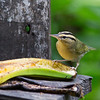 "Not all members of Parulidae are flashy, of course. This Worm-eating Warbler, tucking into a banana on the <a href=""https://fieldguides.com/bird-tours/jamaica/"" target=""_blank""><span class=""slideshow_tourlink3"">JAMAICA</span></a> tour, is simply plumaged in bluff, black, gray, and olive, but a close study shows how pleasing a subtle palette of colors can be. We see Worm-eating on many eastern U.S. tours, memorably on the fine <a href=""https://fieldguides.com/bird-tours/cape-may-spring/"" target=""_blank""><span class=""slideshow_tourlink3"">SPRING IN CAPE MAY</span></a> tour. Photo by participant David Disher."
