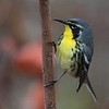 "Farther north, Jesse Fagan's <a href=""https://fieldguides.com/bird-tours/bahamas"" target=""_blank""><span class=""slideshow_tourlink3"">BAHAMAS</span></a>  tour searches pine woods for the uncommon Bahama Warbler, once considered a subspecies of Yellow-throated Warbler (but look at that bill!). Photo by guide Jesse Fagan."