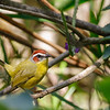"""More widespread is the handsome Rufous-capped Warbler, which makes rare appearances on our Texas tours and is a regular star from the <a href=""""https://fieldguides.com/bird-tours/mexico-oaxaca/"""" target=""""_blank""""><span class=""""slideshow_tourlink3"""">OAXACA</span></a> tour through Guatemala, Costa Rica, and Panama (here), to most of our tours in eastern Colombia, including the popular <a href=""""https://fieldguides.com/bird-tours/colombia-north/"""" target=""""_blank""""><span class=""""slideshow_tourlink3"""">COLOMBIA: BOGOTA, MAGDALENA VALLEY &amp; SANTA MARTA</span></a> tour.   Although it forages in underbrush, Rufous-capped is not terribly shy. Photo by participant Dan Ellison."""