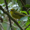 """As one moves well south in the Andes, warbler diversity begins to decline. This Pale-legged Warbler, a sister species to Black-crested Warbler, was photographed on our <a href=""""https://fieldguides.com/bird-tours/bolivia/"""" target=""""_blank""""><span class=""""slideshow_tourlink3"""">BOLIVIA'S AVIAN RICHES</span></a>  tour. This individual in fact strongly resembles a distant relative, Citrine Warbler, usually found in higher elevations in Bolivia. Photo by guide Dan Lane."""