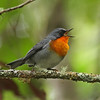 """When we think about warblers from a North American perspective, we usually think of the family Parulidae, sometimes called wood-warblers, which spans the New World from northern Alaska to northern Argentina. Flame-throated Warbler, endemic to the Chiriqui highlands of Costa Rica and adjacent Panama, is a perennial favorite on our <a href=""""https://fieldguides.com/bird-tours/costa-rica/"""" target=""""_blank""""><span class=""""slideshow_tourlink3"""">CLASSIC COSTA RICA</span></a> tour and also our <a href=""""https://fieldguides.com/bird-tours/costa-rica-edges/"""" target=""""_blank""""><span class=""""slideshow_tourlink3"""">COSTA RICA: BIRDING THE EDGES (Part 1)</span></a> and <a href=""""https://fieldguides.com/bird-tours/panama-western/"""" target=""""_blank""""><span class=""""slideshow_tourlink3"""">WESTERN PANAMA</span></a> tours. Photo by participant Ken Havard."""