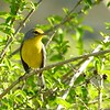 "The near-threatened Barbuda Warbler, also enjoyed on the <a href=""https://fieldguides.com/bird-tours/lesser-antilles/"" target=""_blank""><span class=""slideshow_tourlink3"">LESSER ANTILLES</span></a> tour, is closely related to St. Lucia Warbler and to Adelaide's Warbler of Puerto Rico. Somehow, thankfully, this species managed to survive the direct hit of powerful Hurricane Irma in September 2017. Photo by guide Jesse Fagan."