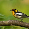 "Blackburnian Warbler is a singular beauty in a family of beauties, and it takes a lifetime to appreciate its many plumages fully. Fortunately, it appears on more than a dozen tours--during the breeding season (here on <a href=""https://fieldguides.com/bird-tours/pennsylvania-warblers/"" target=""_blank""><span class=""slideshow_tourlink3"">PENNSYLVANIA'S WARBLERS &amp; MORE</span></a> )......"