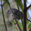 """On our <a href=""""https://fieldguides.com/bird-tours/jamaica/"""" target=""""_blank""""><span class=""""slideshow_tourlink3"""">JAMAICA</span></a> tour, the endemic Arrowhead Warbler is a prize, sometimes tricky to find in tangles of highland forests, much like its relative on Puerto Rico, Elfin Woods Warbler. Photo by guide Chris Benesh."""
