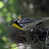 "(Here, for comparison, is a real Yellow-throated Warbler, at Lost Maples State Park on our <a href=""https://fieldguides.com/bird-tours/texas-big-bend/"" target=""_blank""><span class=""slideshow_tourlink3"">TEXAS'S BIG BEND &amp; HILL COUNTRY</span></a> tour. Photo by participant Brooke Miller.)"