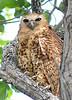 Pel's Fishing Owl - 4 - Version 2