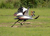 Gray Crowned-Cranes showing their flashy wing-patterns on takeoff (Photo by participant Rachel Hopper)