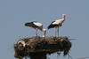 """Greece is home to a staggering number of White Storks, which nest on utility poles (and specially constructed platforms) all across the northern part of the country. The untidy stork nests are also home to dozens of Spanish Sparrows and House Sparrows, which build their """"condos"""" into the base of the stick piles. (Photo by guide Megan Crewe)"""