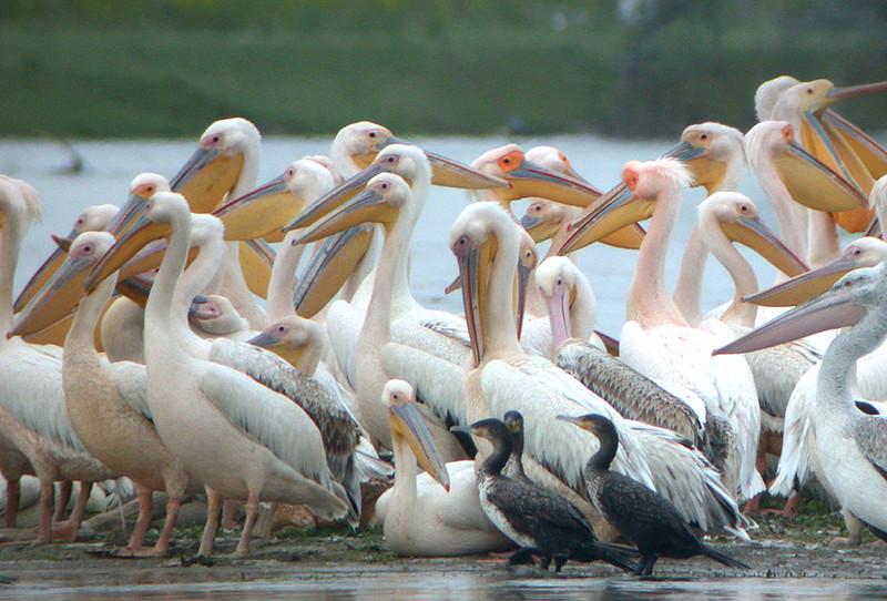 "Great White Pelican & Dalmatian Pelican<div id=""caption_tourlink"" align=""right""> [photo © Mike Crewe]</div>"