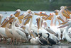 "Great White Pelican & Dalmatian Pelican<div id=""caption_tourlink"" align=""right""> [photo © Mike Crewe]</div>"