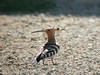 "Eurasian Hoopoe<div id=""caption_tourlink"" align=""right""> [photo © Mike Crewe]</div>"