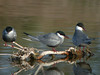 "Whiskered Terns<div id=""caption_tourlink"" align=""right""> [photo © Mike Crewe]</div>"