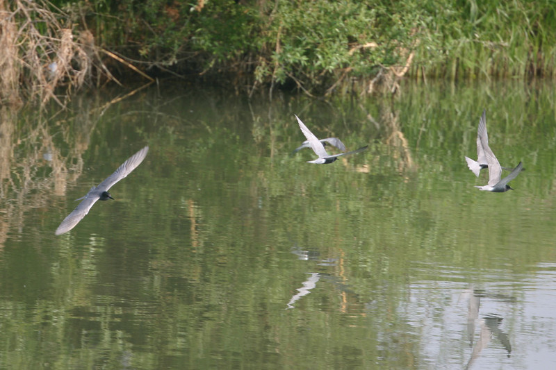 """White-winged Terns near Lake Mitrikou<div id=""""caption_tourlink"""" align=""""right""""> [photo © participant Gerry Byrne]</div>"""