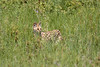 Serval at the Serengeti by participant Fred Dalbey