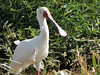 African Spoonbill, Nairobi NP, by guide Terry Stevenson