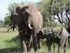 Elephants, Serengeti, by guide Terry Stevenson