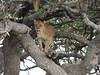 Lion in a sausage tree by guide Terry Stevenson