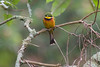Cinnamon-chested Bee-eater by participant Fred Dalbey