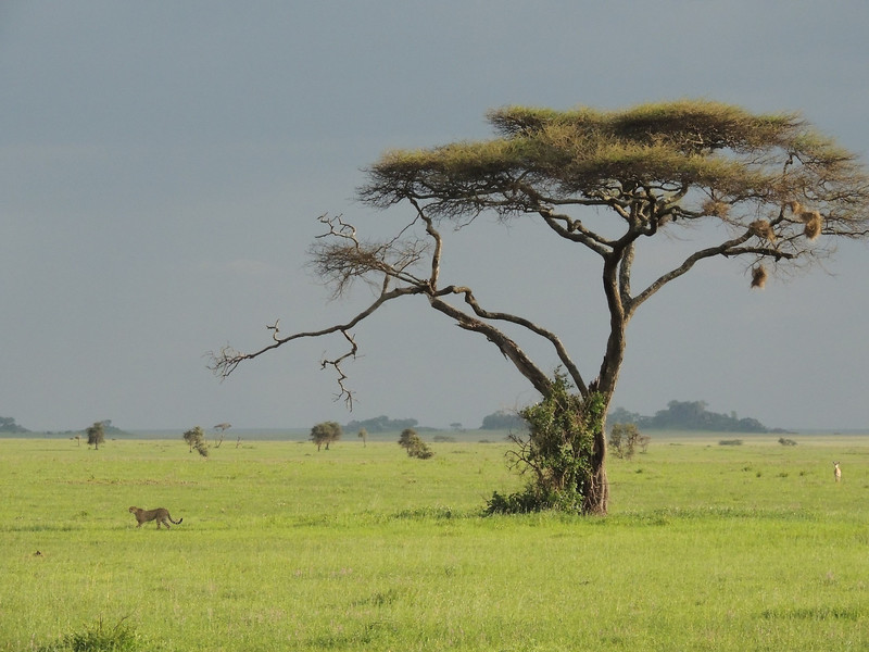 Cheetah with acacia tree by guide Terry Stevenson