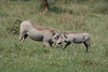 "Warthogs, Lake Nakuru <div id=""caption_tourlink"" align=""right""> [photo © guide Richard Webster]</div>"
