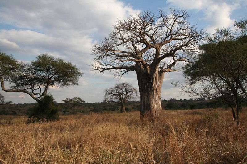 "Tarangire baobabs <div id=""caption_tourlink"" align=""right""> [photo © guide Richard Webster]</div>"