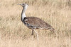 "Kori Bustard, Ngorongoro Crater <div id=""caption_tourlink"" align=""right""> [photo © guide Richard Webster]</div>"