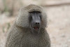 "Olive Baboon, Tarangire <div id=""caption_tourlink"" align=""right""> [photo © guide Richard Webster]</div>"