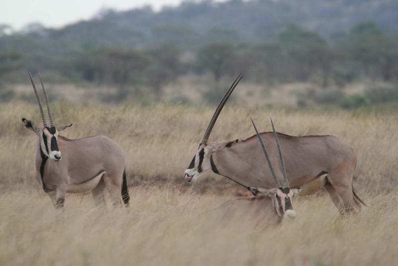 "Beisa Oryx, Samburu <div id=""caption_tourlink"" align=""right""> [photo © guide Richard Webster]</div>"