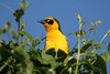 "Baglafecht Weaver, Ngorongoro crater <div id=""caption_tourlink"" align=""right""> [photo © guide Richard Webster]</div>"