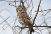 "Pearl-spotted Owlet, Tarangire <div id=""caption_tourlink"" align=""right""> [photo © guide Richard Webster]</div>"