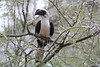 "Von der Decken's Hornbill, Tarangire <div id=""caption_tourlink"" align=""right""> [photo © guide Richard Webster]</div>"