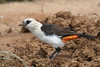 "White-headed Buffalo-Weaver, Tarangire <div id=""caption_tourlink"" align=""right""> [photo © guide Richard Webster]</div>"