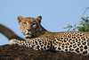 "Leopard, Samburu <div id=""caption_tourlink"" align=""right""> [photo © guide Richard Webster]</div>"
