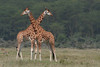 "Rothschild's Giraffes, Lake Nakuru <div id=""caption_tourlink"" align=""right""> [photo © guide Richard Webster]</div>"