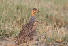 """Coqui Francolin male and female, Ndutu <div id=""""caption_tourlink"""" align=""""right""""> [photo © guide Richard Webster]</div>"""