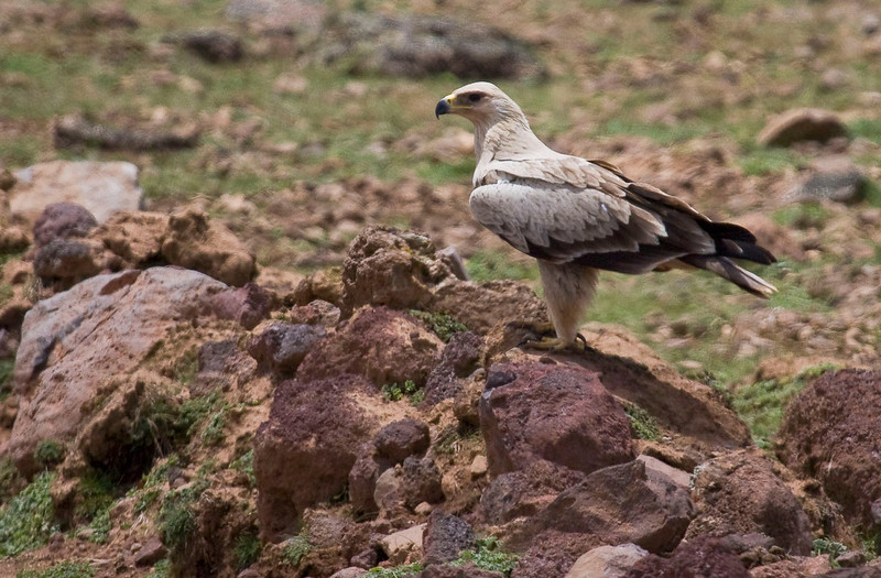 Tawny Eagles are among the commonest of raptors in Ethiopia. (Photo by guide George Armistead)