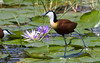 African Jacanas are conspicuous on the Rift Valley lakes. (Photo by guide George Armistead)
