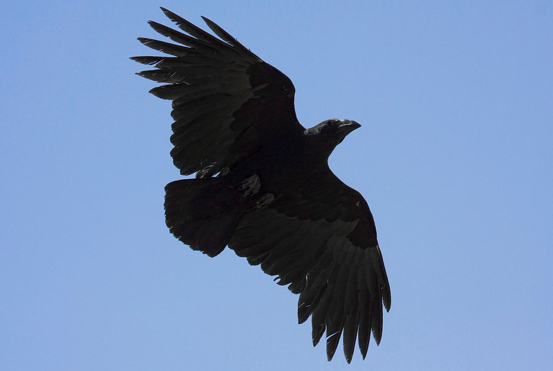 Fan-tailed Ravens abound in Ethiopia. (Photo by guide George Armistead)
